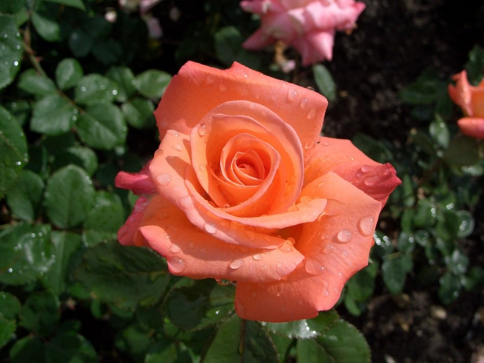 The rose with dew drops