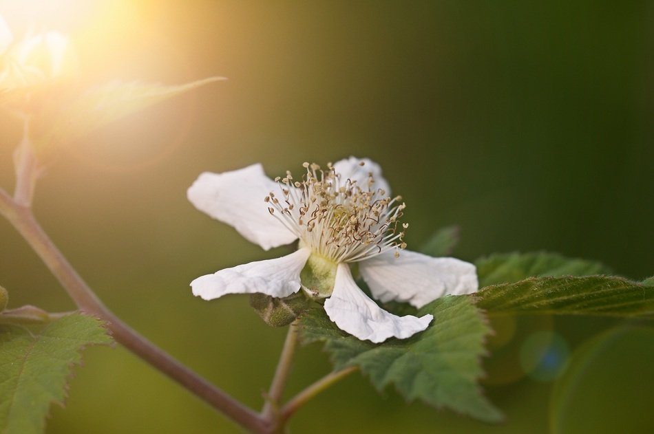 White flower of blackberry closeup