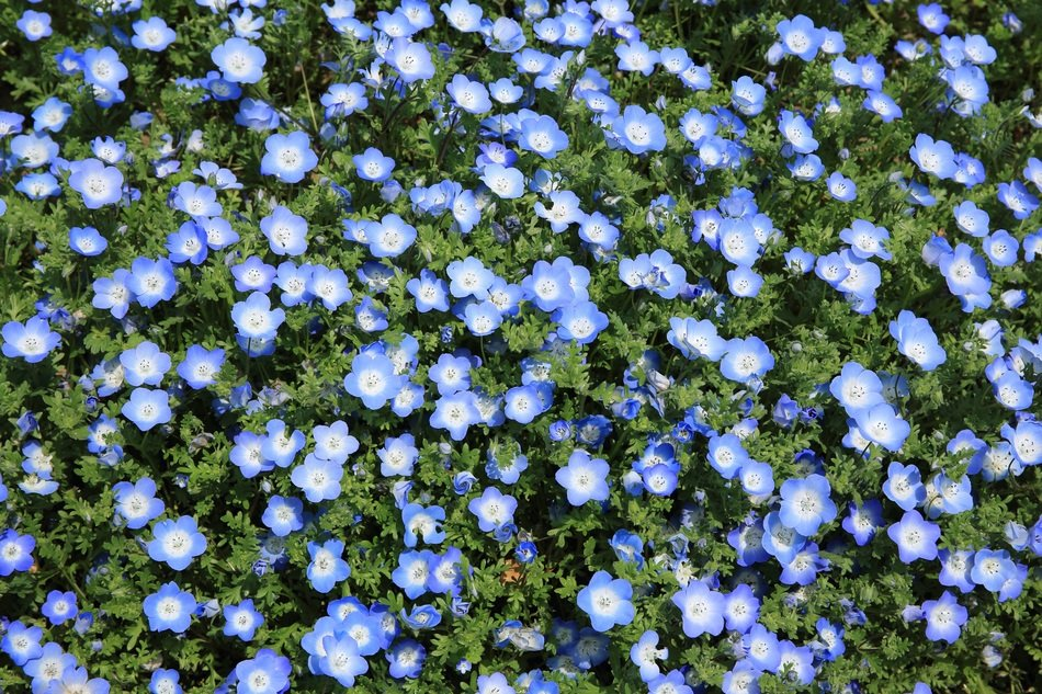 A lot of blue flowers