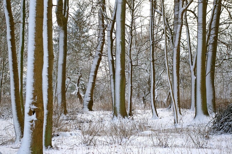 Forest trees in winter