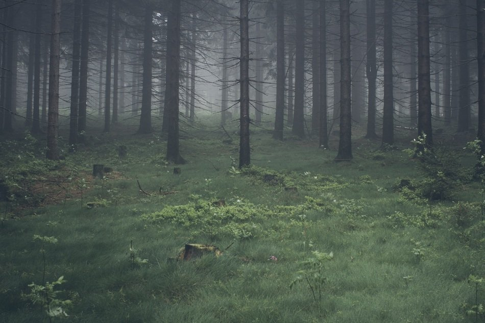 gloomy forest in the fog