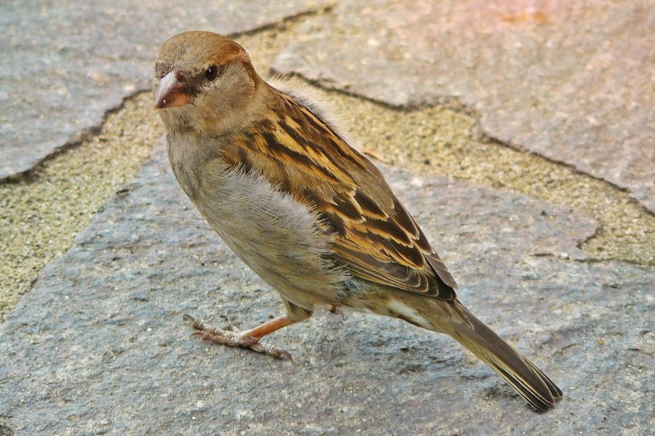 a sparrow stands on a rock