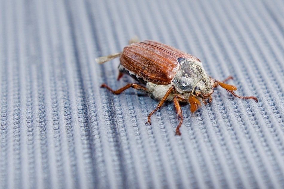 cockchafer on grey surface