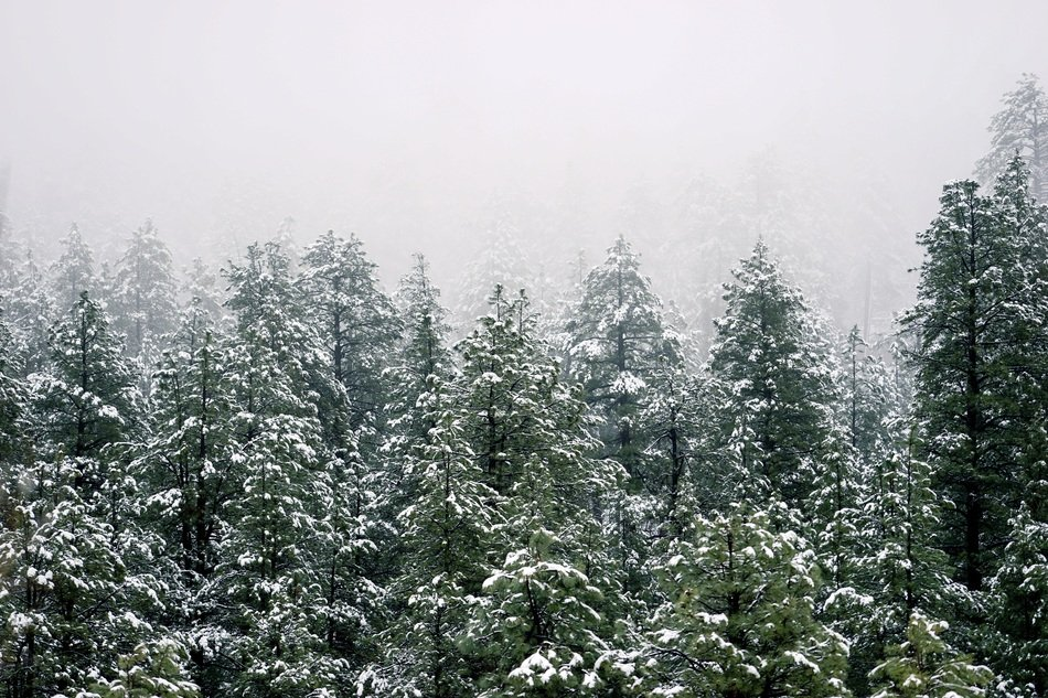 freezing winter trees forest evergreen