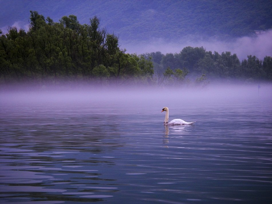 swan on morning lake, lago maggiore