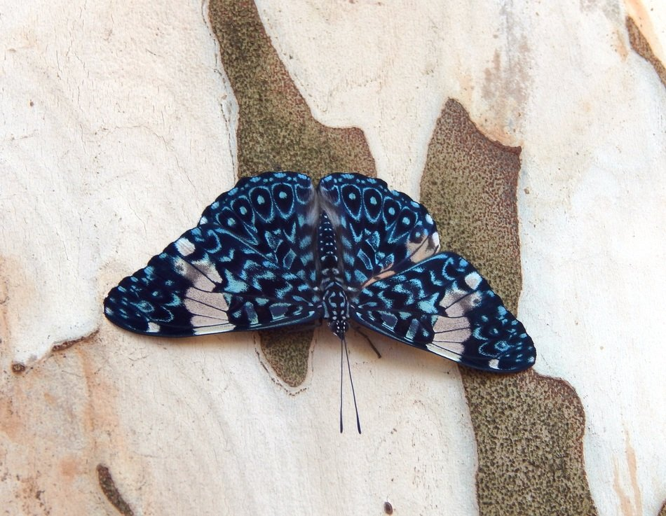 bright blue spotted butterfly