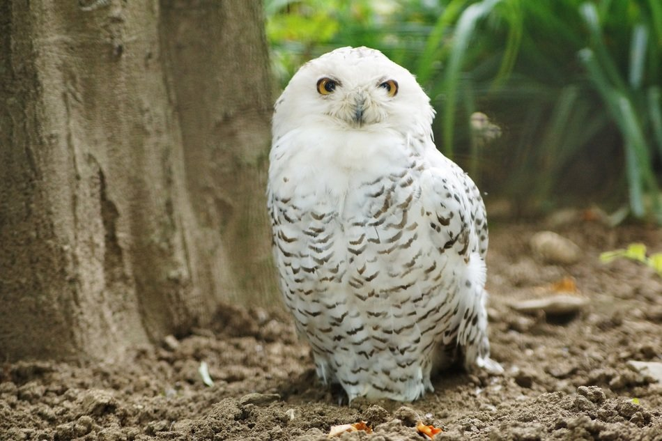 Snowy owl in the wild nature