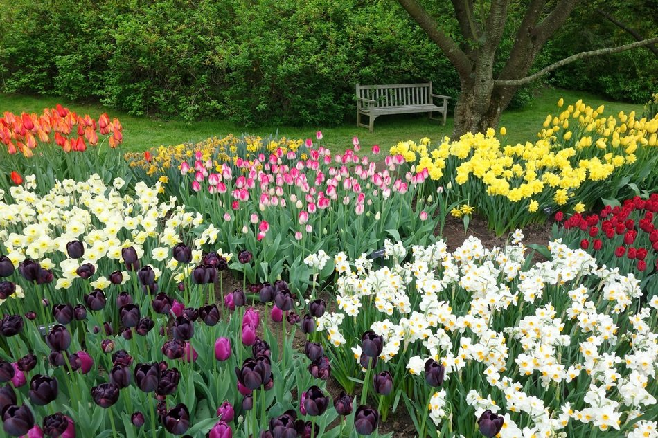 flower bed with tulips and daffodils