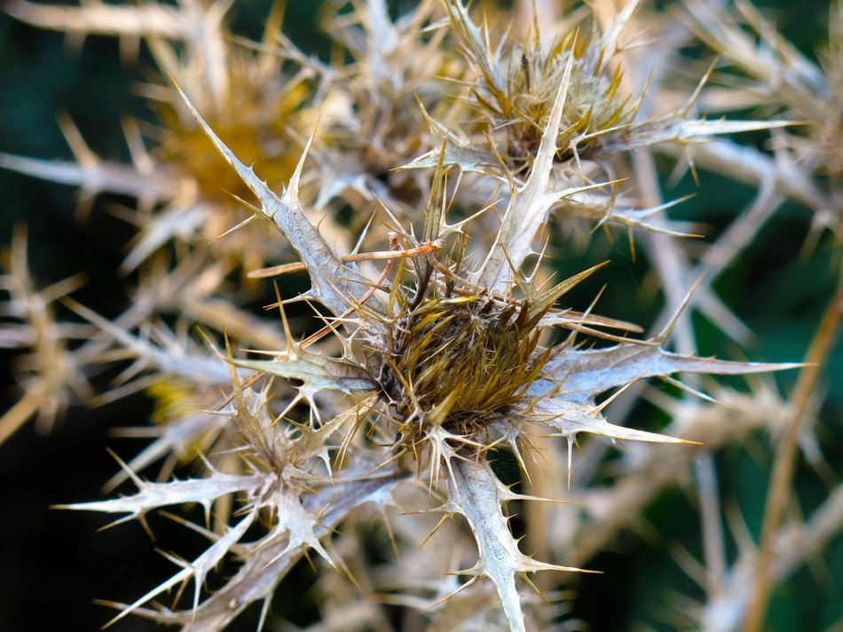 dry thistle close up