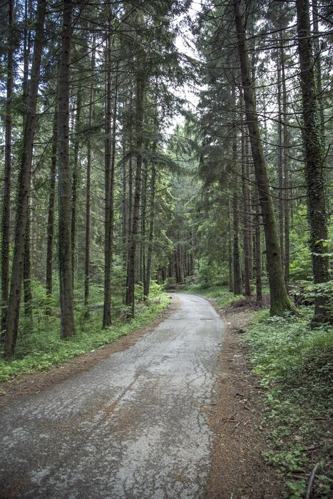 empty road in coniferous forest