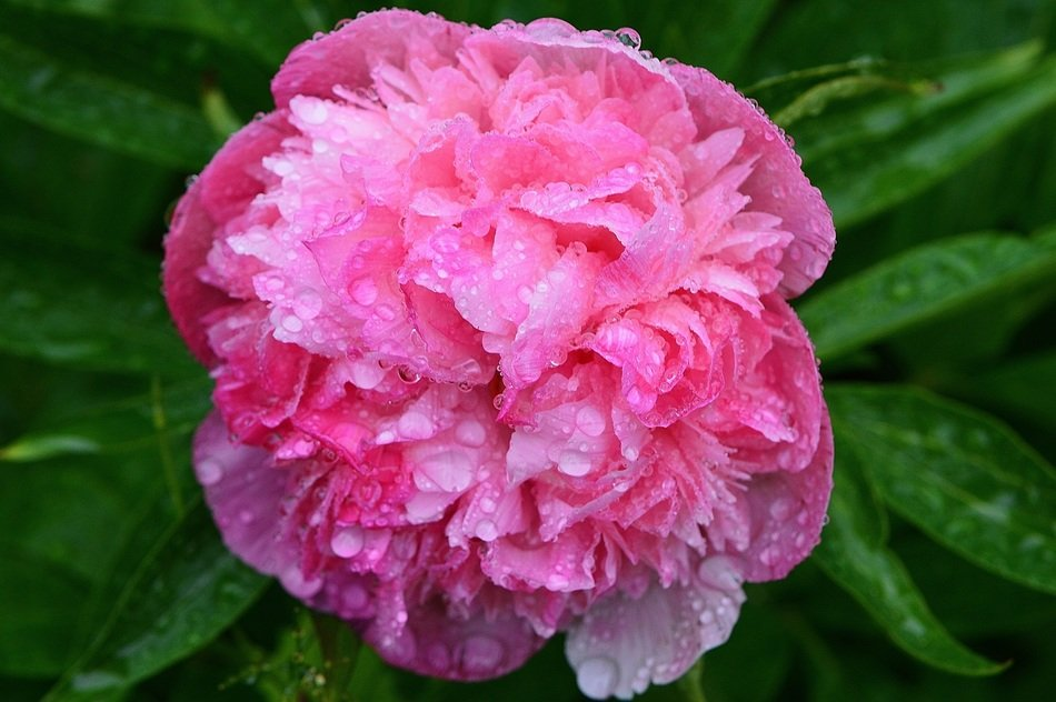A big fluffy peony on a bush in raindrops