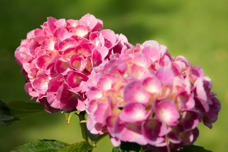 hydrangea flowers turning red