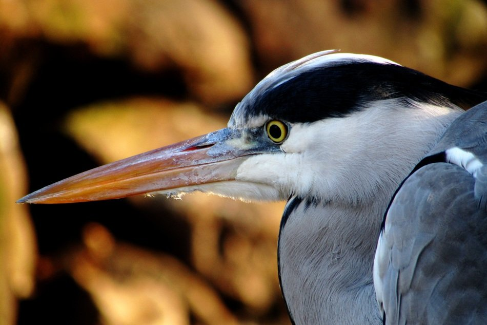 heron bird portrait