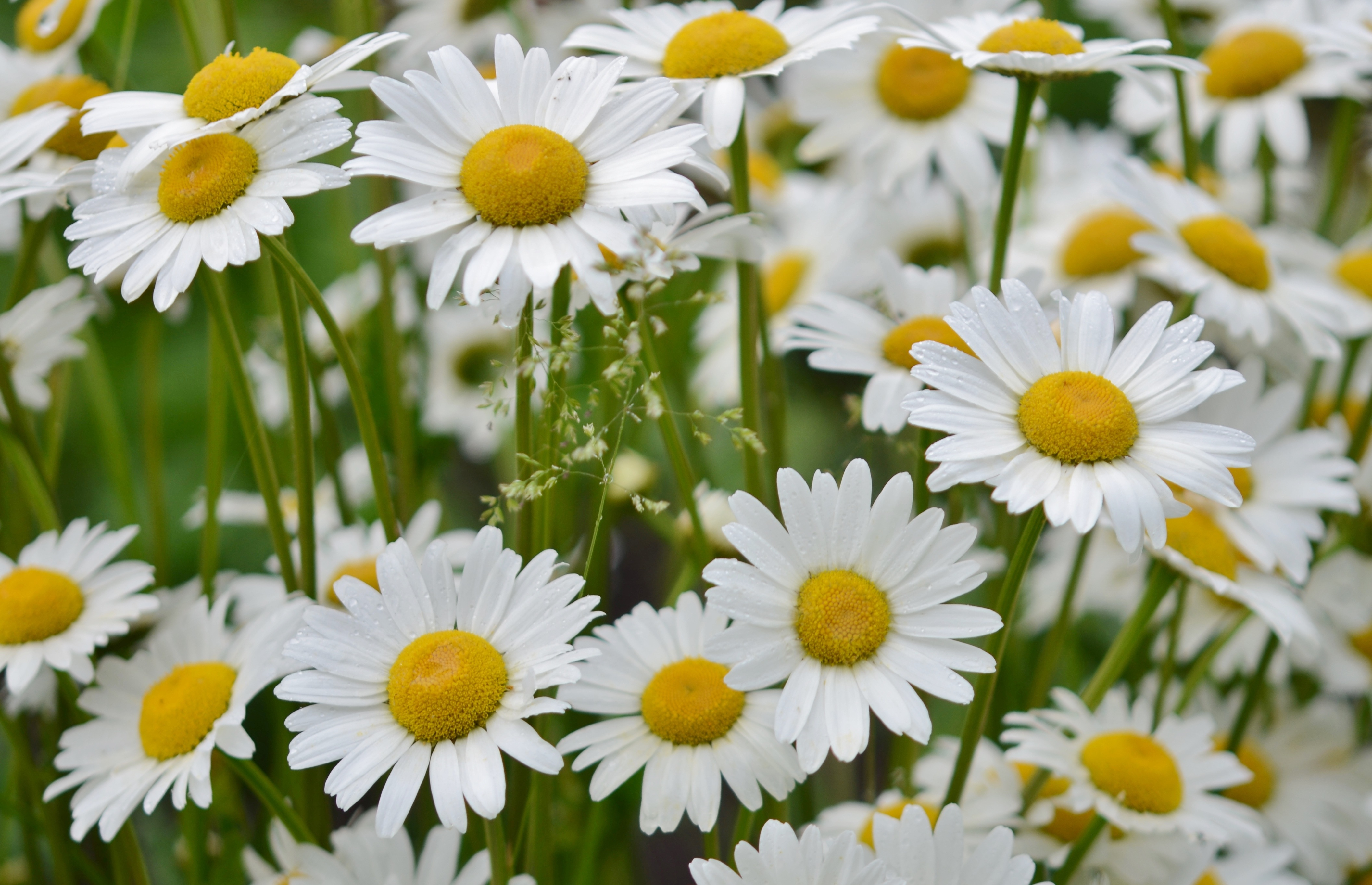 Field Of White Daisies Free Image