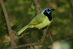 green jay bird