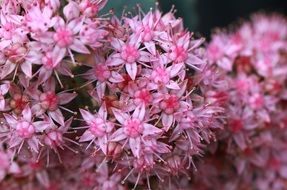 ornamental shrub with pink flowers