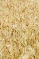 yellow spikes of a wheat field