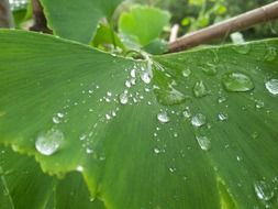 large raindrops on a fresh green leaf