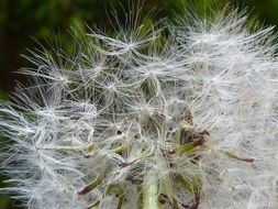white dandelion feathers