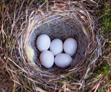 bird nest eggs nature