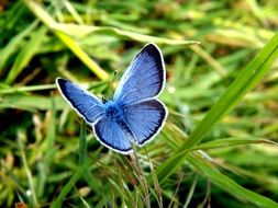 Light blue butterfly against the background of green grass