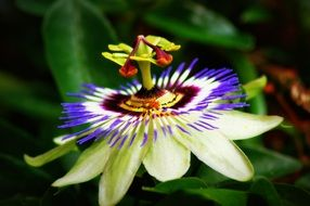 passionflower closeup