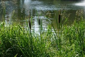 danube river plant water reed summer season