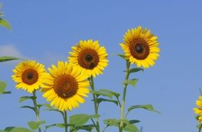 agriculture sunflower