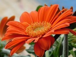 very beautiful gerbera