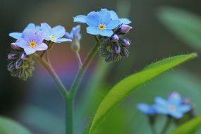 delicate little flowers of forget-me-not