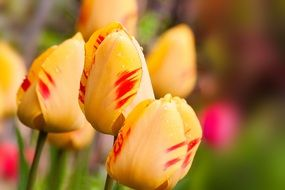 Yellow tulips with red spots on a blurred background