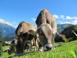 brown alpine cows graze on a mountain meadow in Austria