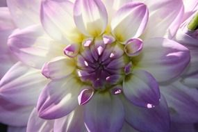 Purple and white flower blossomes