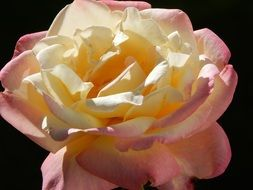 Yellow,white and pink rose blossomes
