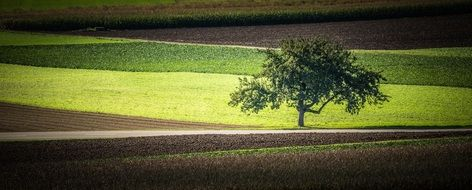 lonely tree between agricultural fields