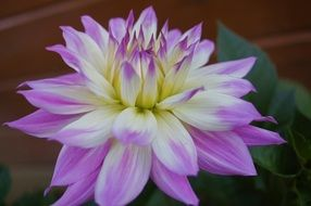 purple and white dahlia flower close up