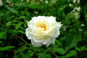 white rose flower in the green garden
