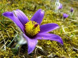 pasque flower blossom bloom
