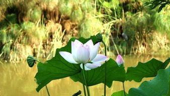 lotus flower in a park pond