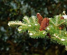 cones on a fir branch