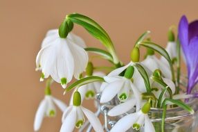 bouquet of snow-white snowdrops in a jar