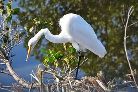 egret florida white bird