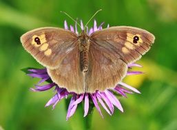 brown butterfly closes purple flower