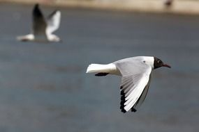 two black headed seagulls in flight