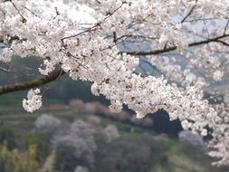 Japanese cherry blossom in the mountains close up