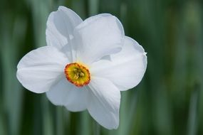 white daffodil flower close up