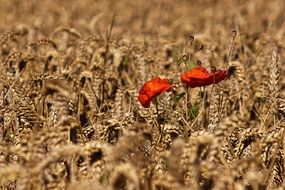 red poppies in cornfield