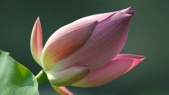 opening flower bud of lotus close up