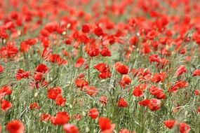 field of the red poppies