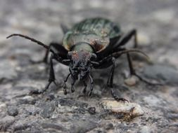 green ground beetle on grey soil